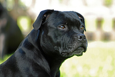 Sort Staffordshire Bull Terrier