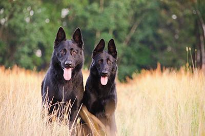 Sorte Schæferhunde