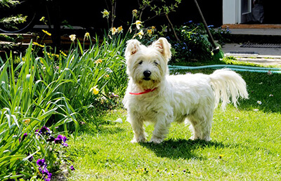 West Highland White Terrier i haven