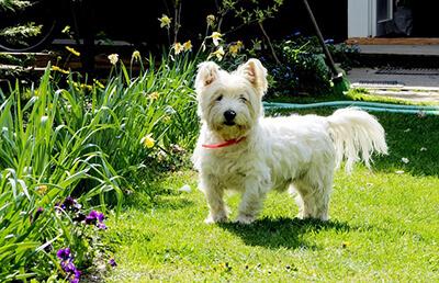 West Highland White Terrier i haven
