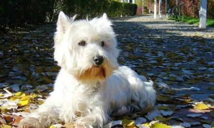 West Highland White Terrier – Den humørfyldte Westie