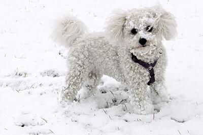 Bichon Frisé i sne