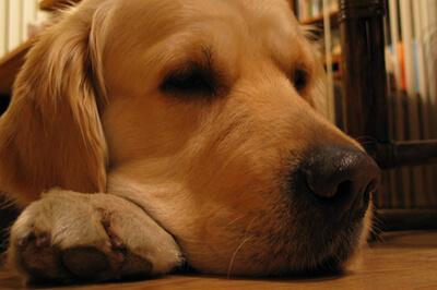 Pankreatitis hos hund