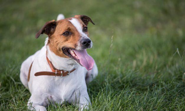 Dansk Svensk Gårdhund – Den kvikke hund