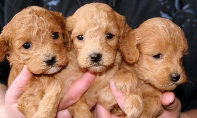 Før du køber hund – Vigtige overvejelser
