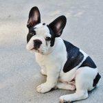 Fransk Bulldog – Den charmerende hund