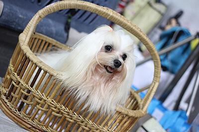Hund til hundeudstilling