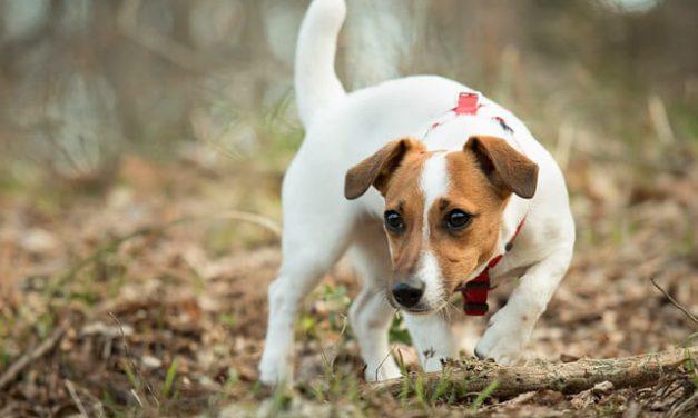 Jack Russell Terrier – Den livlige hund