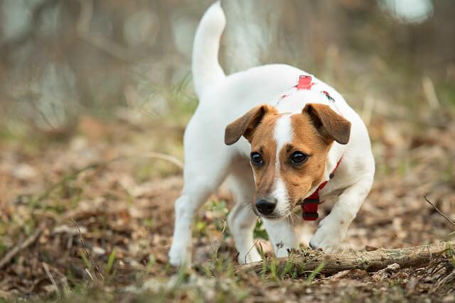 Race: Jack Russell Terrier
