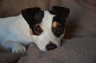 Jack Russell terrier hvalp