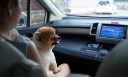 Derfor skal du tilvænne din hvalp til at køre i bil