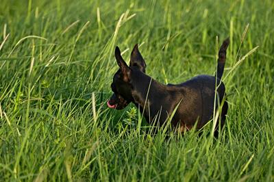 Hund søger efter foder i græsset