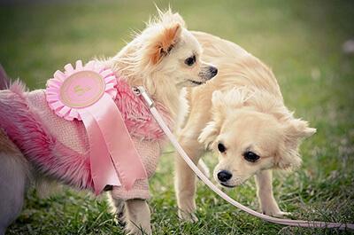 Hunde med stamtavler