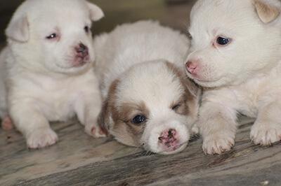 Hunde med falske stamtavler