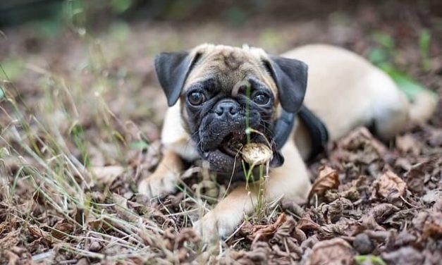 Mops – Den drillesyge klovnehund