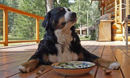 Når hunden ikke vil spise sit hundefoder