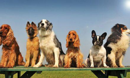 Populære hunderacer 2019 – Top 30 Danmark