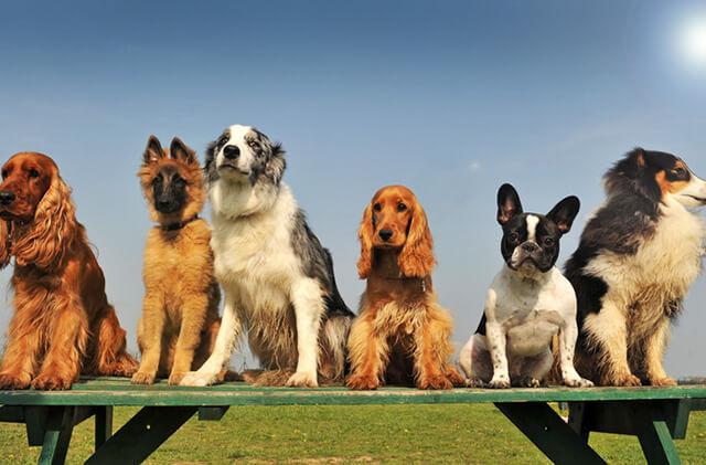 Populære hunderacer