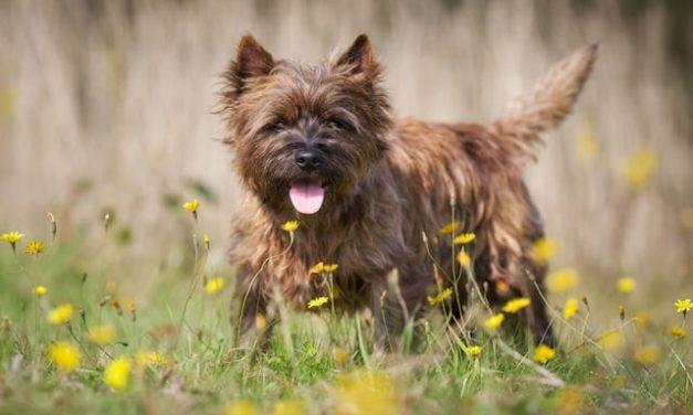 Cairn Terrier – Den tålmodige legekammerat