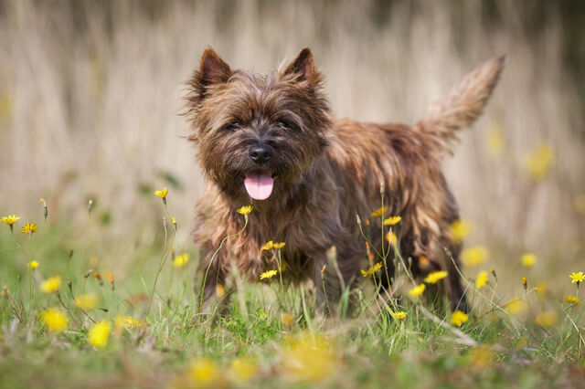 Race: Cairn terrier