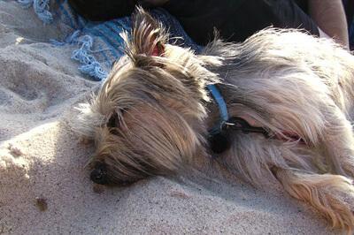 Cairn terrier der sover