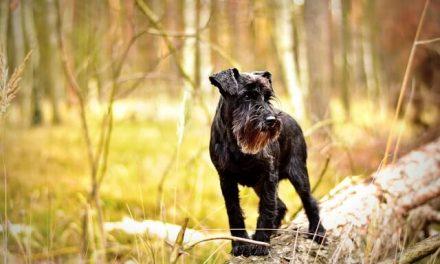 Dværgschnauzer – Den kække hund