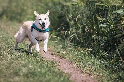 Hund løber på sti