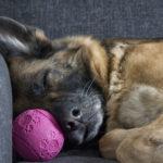Tegn på at din hund har smerter