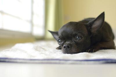Lille hund med smerter