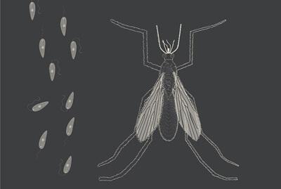 Leishmania og sandflue