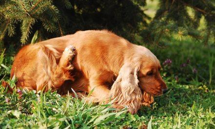 Lopper hos hunde – De blodsugende insekter