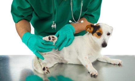 Patella luksation – Løs knæskal hos hund