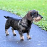 Ruhåret gravhund – Den modige Grævlingekriger