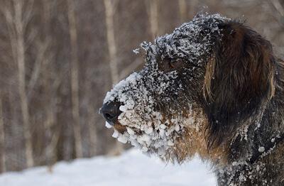 Ruhåret gravhund i sneen