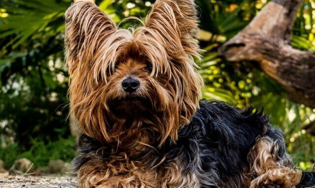 Yorkshire terrier – Den lille Yorkie