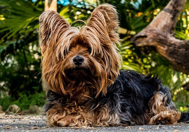 Race: Yorkshire terrier
