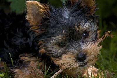 Yorkshire terrier hvalp