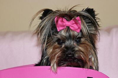 Yorkshire terrier med pink sløjfe