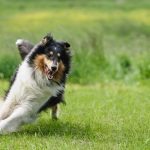 Collie – Den Skotske hyrdehund