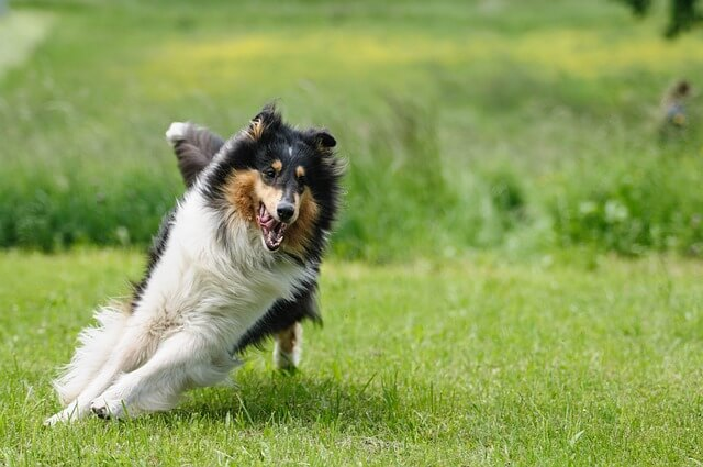 Race: Collie