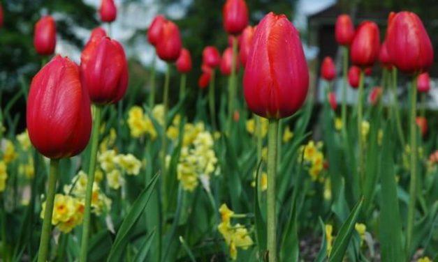 7 giftige forårsblomster for din hund