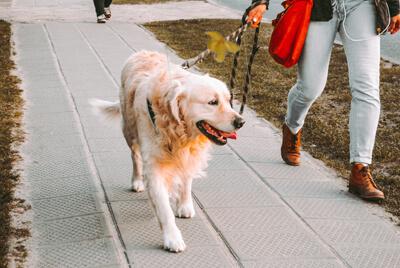 Hund med gul sløjfe