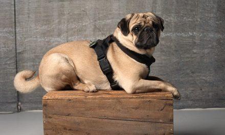 Hundesele til hund – Hvorfor og hvilken?