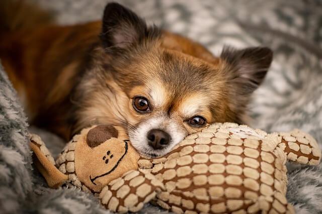 Syg hund efter at have spist Jerky-godbidder
