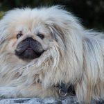 Pekingeser – Den kinesiske kejserhund