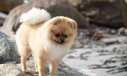 Pomeranian – Den lille Pom Pom