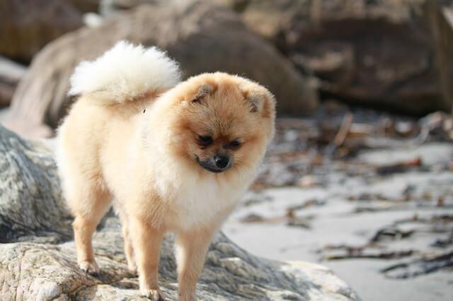 Race: Pomeranian