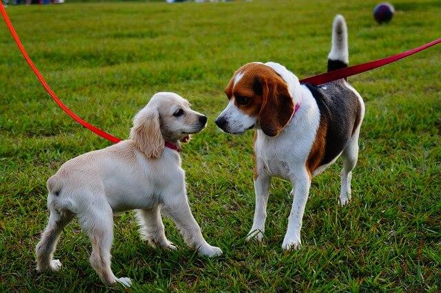 To hunde der mødes i snor