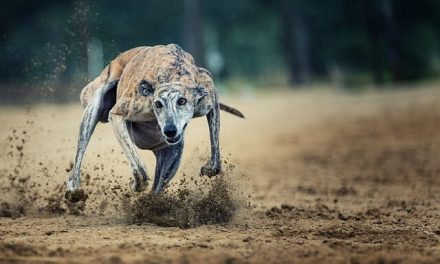 Greyhound – Den fødte sprinter