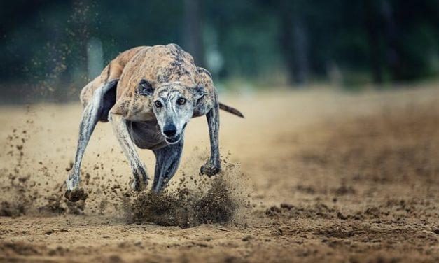 Greyhound – Den fødte sprinter